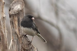 Dark-eyed Junco by robbobert