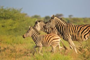 Zebra - African Wildlife - Running Wild and Free by LivingWild
