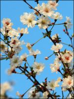Cherry Blossoms in the Sky by mydigitalmind