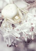 White Crab Spider by SianMurrell