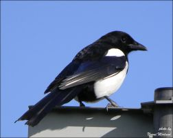 Magpie-Pica Pica by Grandmagoingnuts