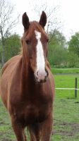 Chestnut Gelding Warmblood by Horselover60-Stock