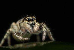 Cute Jumping Spider 2 by Alliec