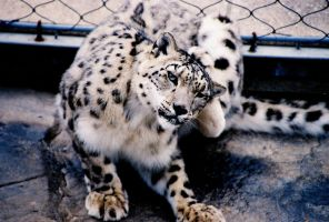 Snow Leopard- Como Zoo, MN by FlavoredWaters