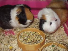 Guinea Pigs by stifle