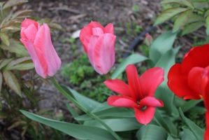 Spring Scenes - Tulips by Qrinta