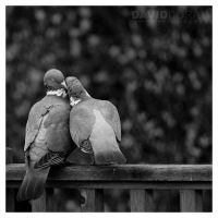 Lovebirds by Dave-D