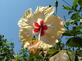 Hibiscus6 by RixResources