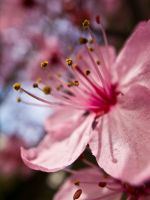 Spring Cherry Blossom 3 by Strikethecamera
