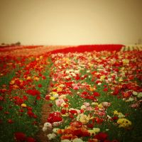 Red Field by EmiNguyen