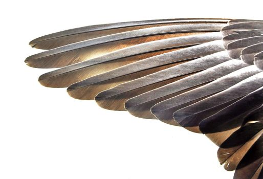 Wing by Skia