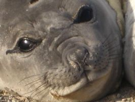Baby Elefant Seal by Wildfire47