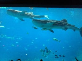 Whale Sharks by RydeKnight