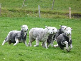 Herdwick Sheep by rhubarbandcustard12