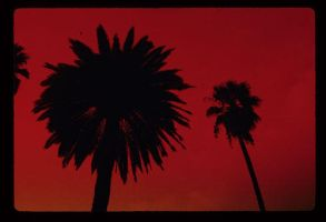 Beverly Hills Palm Tree by shootstuffguy