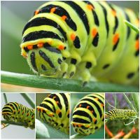 Chenille Papilio Machaon by BigBenFR
