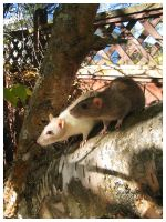 Rats in a Tree by FiftyBelowZero