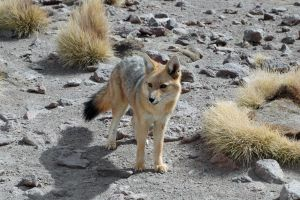 Bolivian Wolf by 100-days