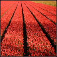 holland: flower field 2 by i-shadow