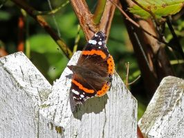 Red Admiral by Brit31