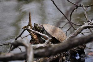 Painted Turtle by aperfectmjk