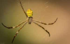 Spider by AzzasArt