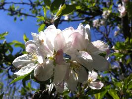 Apple Blossoms by m-angel05