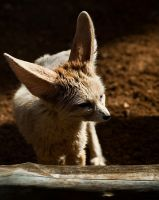Fennec Fox 2 by andyjh07