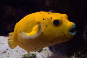 Yellow Puffer by Thilil