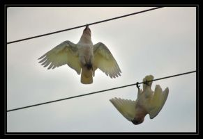Corellas Play At Dawn by AdamsWife
