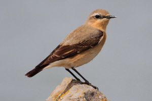 Wheatear by Cantabrigian