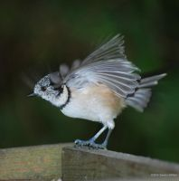 Crested Tit 3 by grugster
