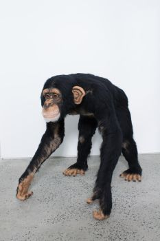 Chimpanzee, life-sized by kiyoshimino