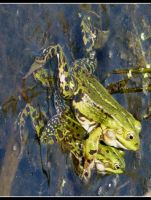 2 frogs by Shira9