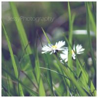 Daisy 3 by JessyPhotography