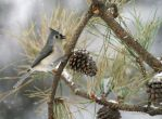 Tufted Titmouse in Snow by barcon53