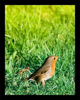 Robin Red Breast by Tamakin