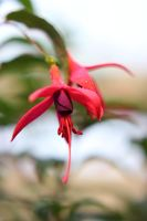 Flowers of the Fuchsia by JetteReitsma
