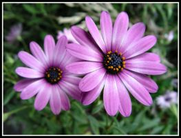 Purple Daisies by TSVN