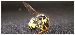 Wasp by Seat