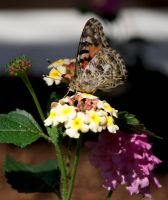 Painted Lady Ventral View by Squirrelflight-77
