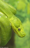 green tree python 2 by Yair-Leibovich