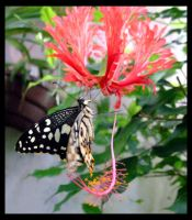 Exotic Butterfly by MeisterP