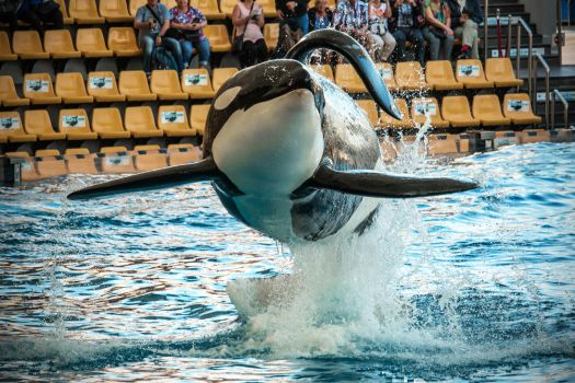 Orca in the air by attomanen