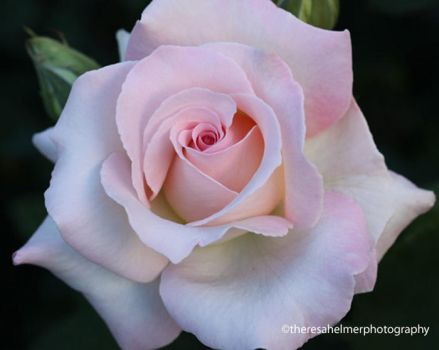 A Perfect Rose by theresahelmer