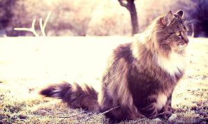 Tiger, the beautiful cat by howtiee93
