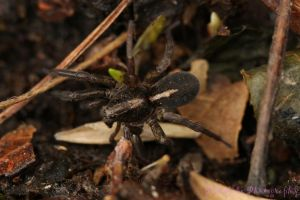 Wolf Spider by Kaptive8