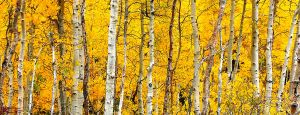 Aspen Grove by maxre