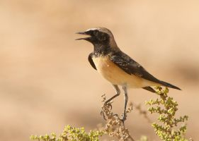 Desert bloom - Pied Wheatear by Jamie-MacArthur