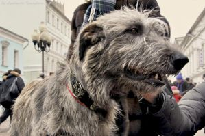 Irish Wolfhound by Lyutik966